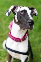 Sipsy is an #adoptable Great Dane Dog in #Huntersville #NCAROLINA - Please contact Great Dane Friends ( greatdanefriend@yahoo.com ) for more information about this pet. Sipsy is a 10 month old female Dane.  She...
