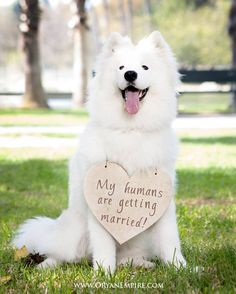 This girl who has a VERY important announcement to make. | 19 Samoyeds Who Will Warm Your Freezing Cold Wintery Heart