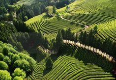 Boseong Green Tea Plantation (Jeollanam-do Boseong-gun), South Korea