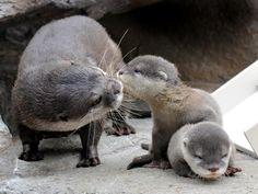 river otter - Google Search