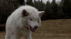 Lobo branco.