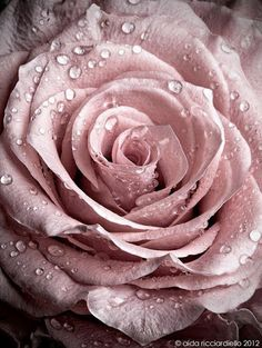 Raindrops on a rose :)
