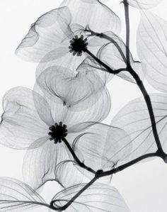 Steven N. Myers- Dogwood Blossoms