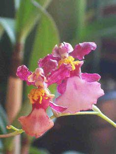 Equitant Oncidiums | Orquídeas do Giba
