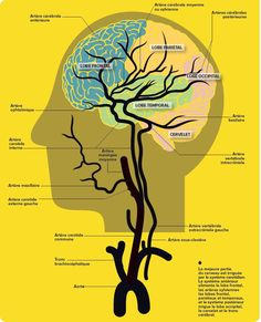 Artères cérébrales et lobes. Human Brain Mapping, Body Anatomy, Anatomy And Physiology, Blood Vessels, Human Body, Knowledge, Culture, Health, Logo