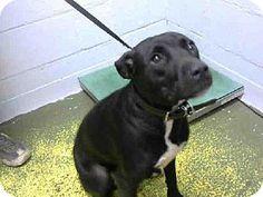 Atlanta, GA - Labrador Retriever Mix. Meet DEVI, a dog for adoption. http://www.adoptapet.com/pet/11590862-atlanta-georgia-labrador-retriever-mix