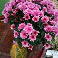 Crizantemele(Chrysanthemum) numite și tufănele,dumitrițesaumargarete de toamnă, sunt o familie formată din aproximativ 30 de specii de plante perene, aparținând familieiAsteraceae, nativeAsie…