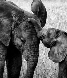 """Elephants give new meaning to the phrase """"it takes a village to raise a child."""" The baby ends up with an entireherd of mothers, all of whom take turns watching over each other's children. The term for these auntie elephants is """"allmothers."""""""
