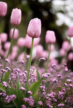 The small pink flowers tone down the green and bring out the pink tulips. Anyone know what plant these pink flowers are? Tx in advance ♥ (pink version of forget me not) Flowers Nature, Spring Flowers, Beautiful Flowers, Pink Tulips, Tulips Flowers, Flowers Pics, Daffodils, Purple Flowers, Dream Garden
