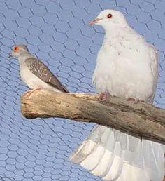 76 Best Diamond Doves Images Pigeon Dove Bird Birds