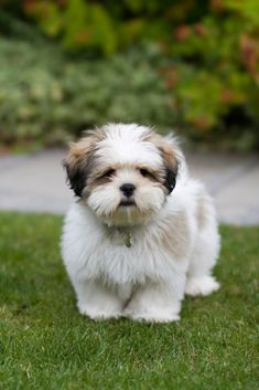"""Historically the Lhasa Apso was bred as a guard dog for Buddhist monasteries, even taking the name """"Lhasa"""" from the capital city of Tibet."""