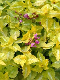 Lamium Maculatum Aureum (Spotted Dead Nettle) Citrus yellow leaves w/ a white slash down center of each leaf. Yellow Leaves, Yellow Flowers, Yellow Plants, Shade Garden, Garden Plants, Landscaping Plants, Herb Garden, Indoor Garden, Landscaping Ideas