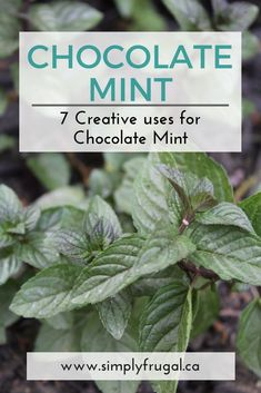 7 Creative Uses for Chocolate Mint Chocolate mint is an easy to grow perennial that once you plant it, you will find yourself with anabundance of it. It smells just Chocolate Mint Plant, Menta Chocolate, Chocolate Mint Herb Recipe, Mint Recipes, Herb Recipes, Cooking Recipes, Growing Mint, Growing Herbs, Mint Plant Uses