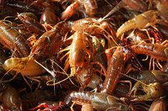 Live Purged Crawfish, Live Crawfish for sale houston, live crawfish the crawfish company