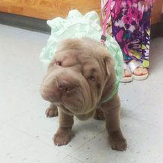 meet Lila - cutest mini sharpei puppy #puppy #sharpei #mini #minisharpei #dog
