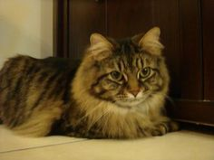 Looks like Flex...love maine coons!