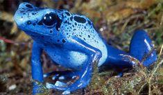 1匹で大人10人を殺せるほどの猛毒を持つ美しいカエル「コバルトヤドクガエル」の繁殖に成功 : カラパイア