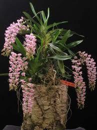 Aerides Multiflorum | Aeridesquinquevulnera : Orquídeadel Sueño Sagrado (Filipinas, New ...