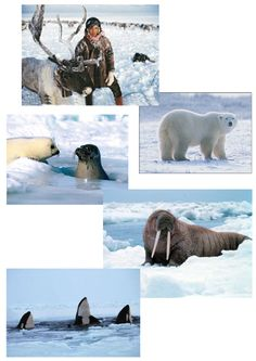 eskimo animals around Arctic Animals, Canada Day, Polar Bear, Exotic, Kindergarten, Explore, Education, Kids, Penguins