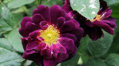Love and history bloom amid heirloom roses in Mercersburg - Pittsburgh Post-Gazette, wonderful info