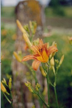 """tiger lily- in the Language of Flowers Tiger lilies speak of a """"tempestuous passion""""!"""