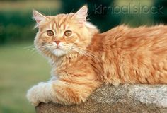 Kimball Stock is the leader in car stock photos and animal stock images, and maintains one of the largest rights-managed collections in the world. Orange Tabby Cats, Cat Grooming, Kittens, Stock Photos, Rock, Portrait, Animals, Cute Kittens, Animales