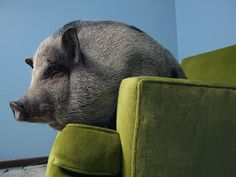 Potbelly pig!!