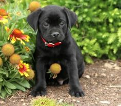 Pug and Lab mix... my two favorite breeds in one beautiful dog.