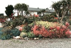 Stacy Peralta's front yard at his seaside cottage in Cayucos is home to his aloe collection along with other resilient and colorful succulents. Photo: Mary Dodder McCorkle A tall aloe trees are aloe barberae and is one of Peralta's standout succulents. Types Of Succulents, Colorful Succulents, Succulents Garden, Water Plants, Cool Plants, Stacy Peralta, Succulent Landscaping, Landscaping Ideas, Low Maintenance Garden