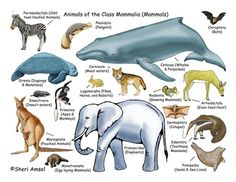 CC C1 W6 Classical Conversations Cycle 1 Week 6 - science - free mammal poster to download and print