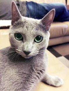 Fiona  #russischblau #russianblue #katzen #cats