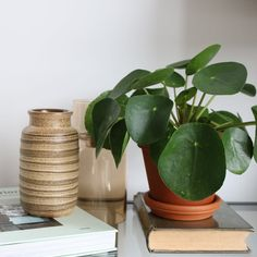 Zie hier, de celebrity onder de planten en de hit van Instagram: de Ogreen Pannenkoekplant! #ogreen #nature #pilea