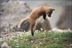 Pouncing Red Fox