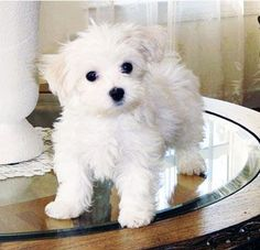 looks just like Lola - love my little #maltese!!