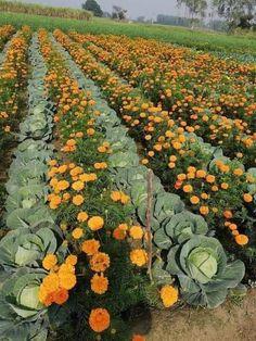 Garden Yard Ideas, Garden Landscaping, Permaculture, Marigolds In Garden, Garden Guide, Farm Gardens, Companion Planting, Edible Garden, Growing Vegetables