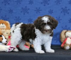Havanese puppies for sale! Lancaster Puppies has Havanese puppies. We pair Havanese breeders with great folks like you. Get your little puppy today. Havanese Breeders, Havanese Puppies For Sale, Lancaster Puppies, Shih Tzus, Animals Dog, Little Puppies, Maltese, Mans Best Friend, Cuddle