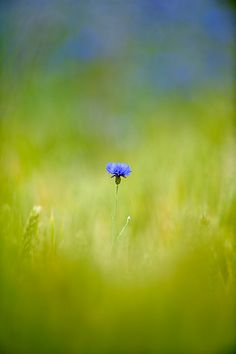 The lone cornflower - Read more about the herbal skincare properties of…