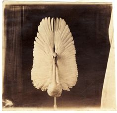 Swan, George Eastman House collection.