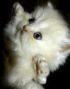 Анимация Белый пушистый котенок стоит на задних лапах, поднял вверх передние лапы и забавно моргает глазками, гифка Белый пушистый котенок стоит на задних лапах, поднял вверх передние лапы и забавно моргает глазками