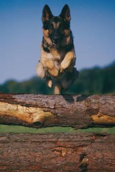 German shepherds ...five distinct stages in their first year alone. The long adolescent period that ends the puppy years is highly individual, but most dogs mature somewhere before 3 years of age.