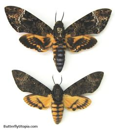 Death Head Moth