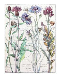 Items similar to ISABEL ADAMS: Corn Flowers- Vintage Botanical Reproduction - Blue Bottle Corm Flower, Hard Head, Black Knapweed - or on Etsy