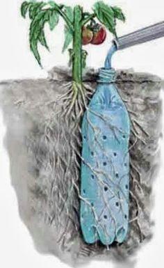 Bottle Irrigation Tomato Plant  - Irriguer ses plants de tomates avec une bouteille percée