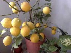 Hobi Bahçecilik: Saksıda Limon, Portakal, Mandalin Yetiştiriciliği - YouTube