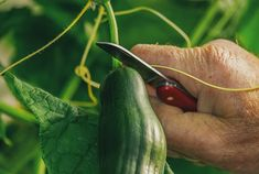 Companion planting is a great way to maximize the efficiency of garden. Companion Planting Guide – 10 Vegetables You Should Plant Together Greenhouse Gardening, Container Gardening, Bitter Cucumbers, Fast Growing Vegetables, Companion Planting Guide, Cucumber Plant, Grow Cucumber, Garden Nursery, Plantar