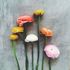 A bouquet of ranunculus Zuckerzimtundliebe favorite flowers pastel