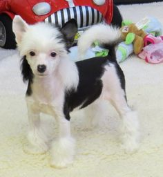 chinese crested powder puff haircuts - Google Search