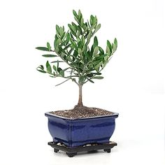 minature olive tree  Rene And David gave me one like this from the moon festival in Hanford Calif. today.  It is beautiful.  Now I have to learn how to care for it.