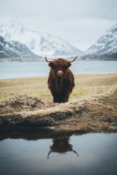 Scottish Highland Cattle.  Collies worked this type of cattle and the black-faced Highland Sheep in the 1800s.