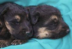 German Shepherd Puppies  FOR SALE  www.christiansguardianshepherds.com